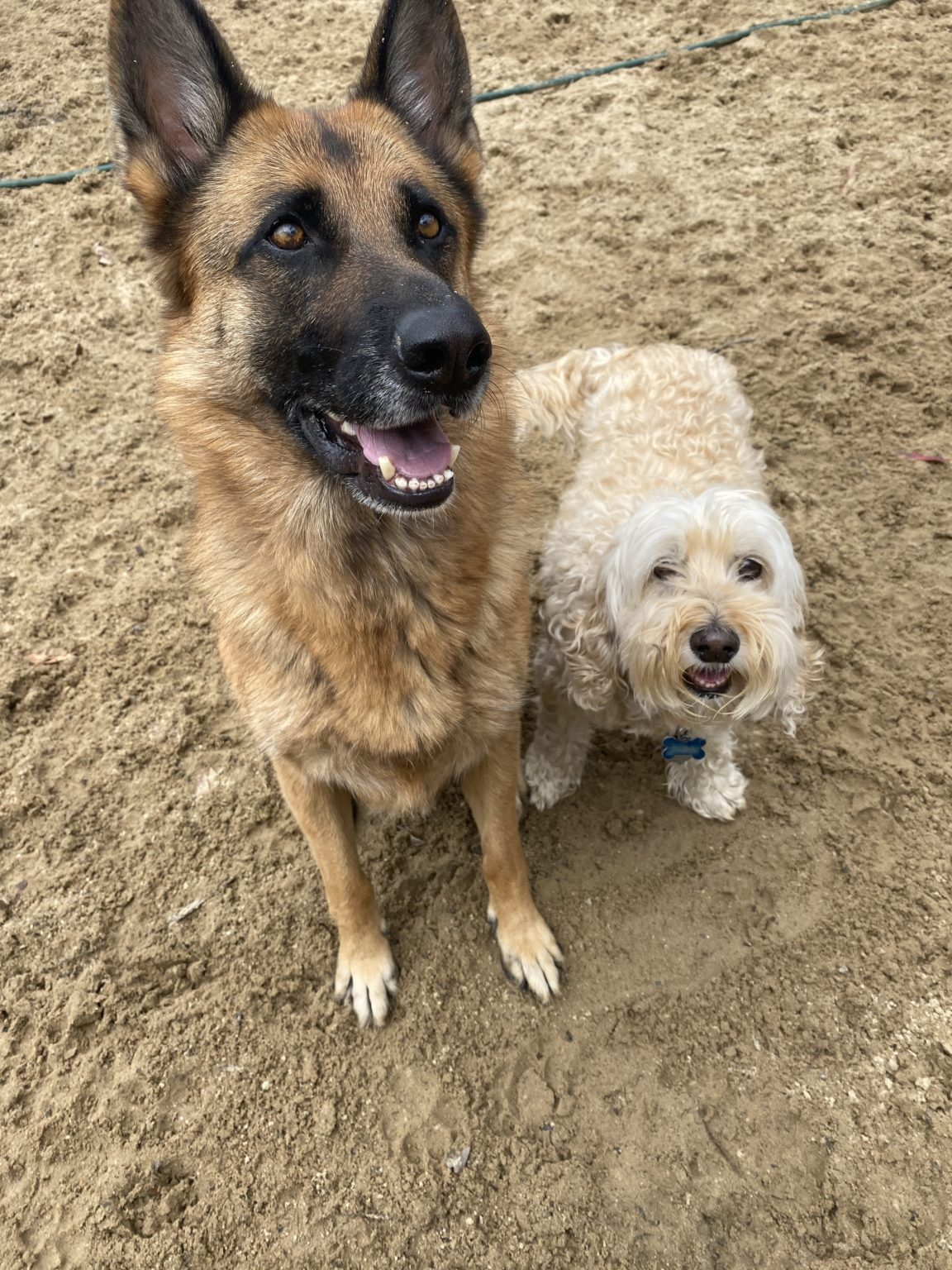 Two dogs at dog daycare near Hobart