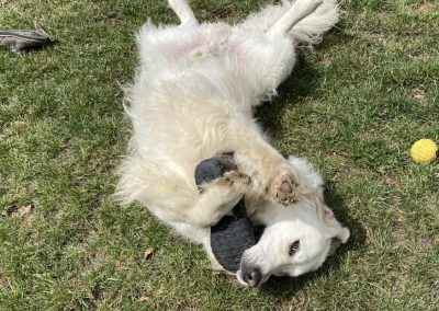 Dog playing with a shoe at dog boarding near Hobart