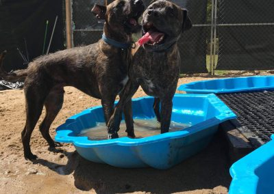 Dogs playing in a bath at dog boarding near Hobart