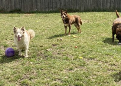 Dogs playing with balls at dog boarding near Hobart