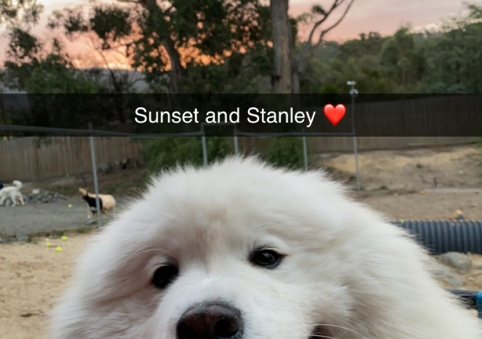 Meet our dog guests: Stanley the Samoyed