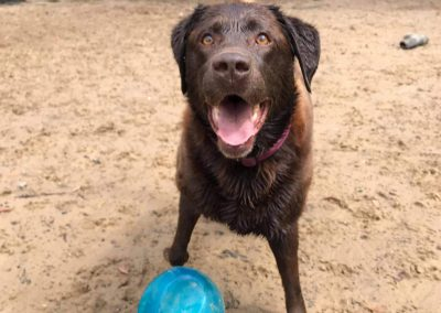Happy dog with a ball at our dog daycare near Hobart
