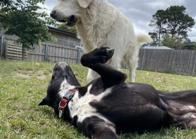 Dogs playing at dog daycare near Hobart