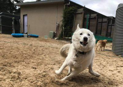 A happy dog running around our Dog Resort