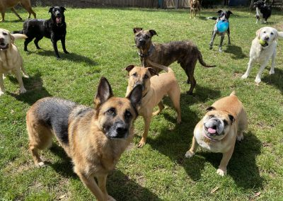 Group of dogs at the Dog Resort near Hobart