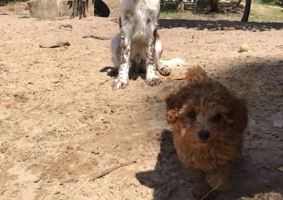 Albi at dog daycare near Hobart